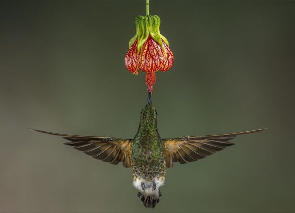 'Buff Tailed Coronet' By Hymakar Valluri